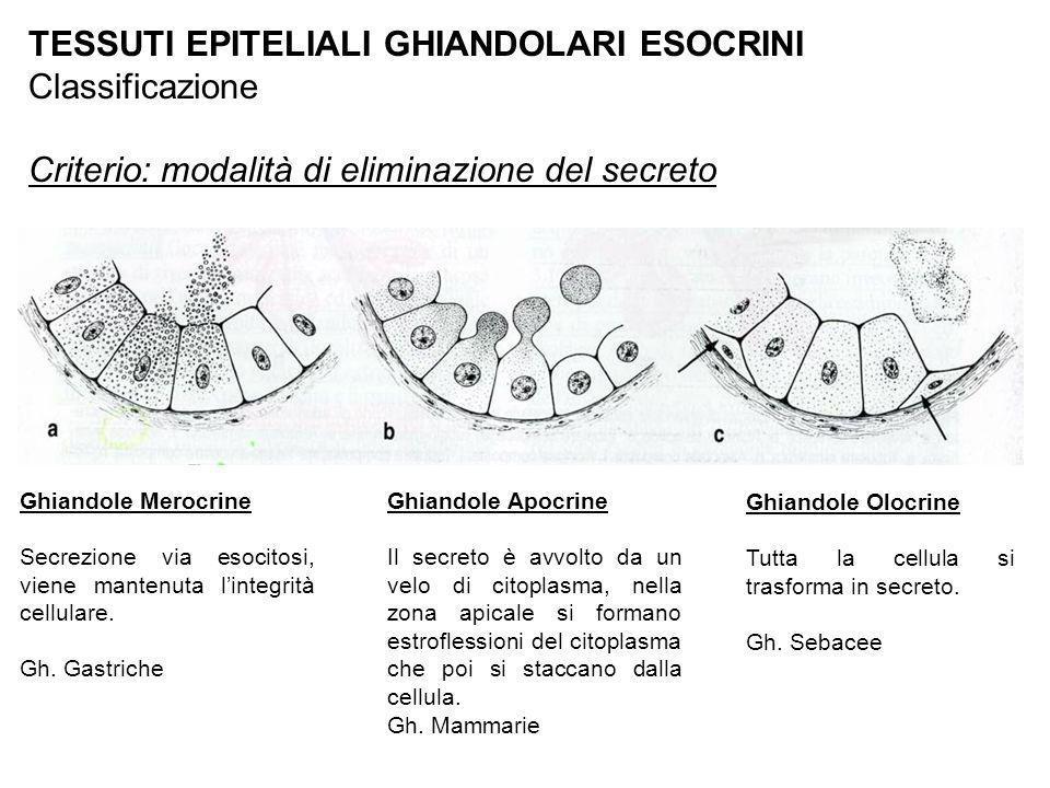 TESSUTI EPITELIALI GHIANDOLARI ESOCRINI Classificazione Criterio: modalità di eliminazione del secreto Ghiandole Merocrine Secrezione via esocitosi, v