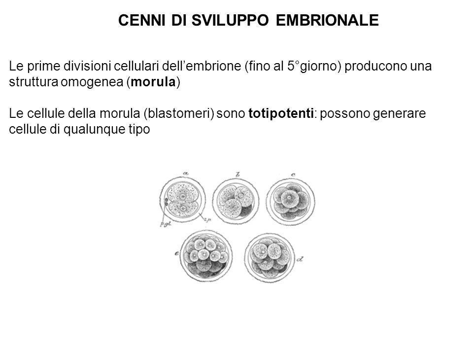 CENNI DI SVILUPPO EMBRIONALE Le prime divisioni cellulari dellembrione (fino al 5°giorno) producono una struttura omogenea (morula) Le cellule della m