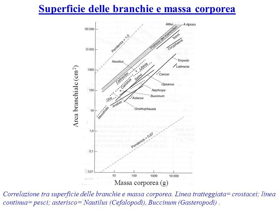Correlazione tra superficie delle branchie e massa corporea. Linea tratteggiata= crostacei; linea continua= pesci; asterisco= Nautilus (Cefalopodi), B