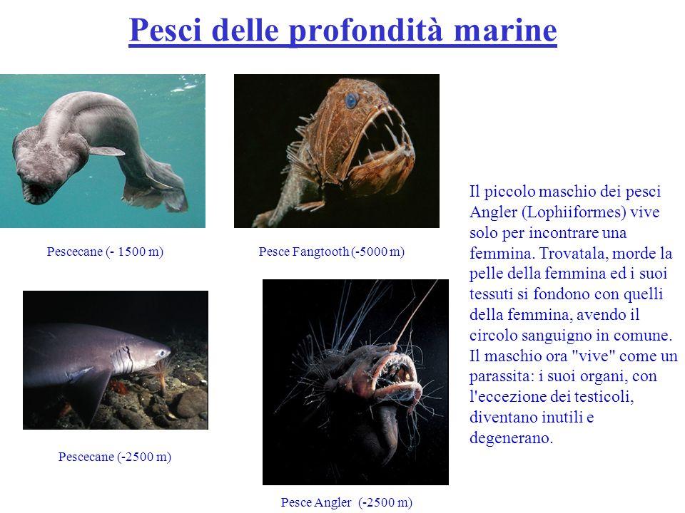 Pesce Fangtooth (-5000 m)Pescecane (- 1500 m) Pescecane (-2500 m) Pesce Angler (-2500 m) Il piccolo maschio dei pesci Angler (Lophiiformes) vive solo