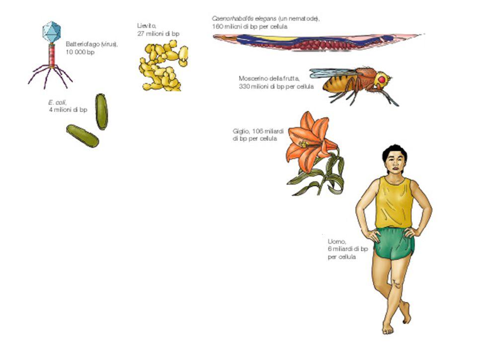 Virus e Batteri Alghe e Funghi Nematodi Insetti Echinodermi Pesci Anfibi Uccelli Rettili Mammiferi Piante 10 6 10 7 10 8 10 9 10 10 10 11 Dimensioni del genoma aploide (bp) E.