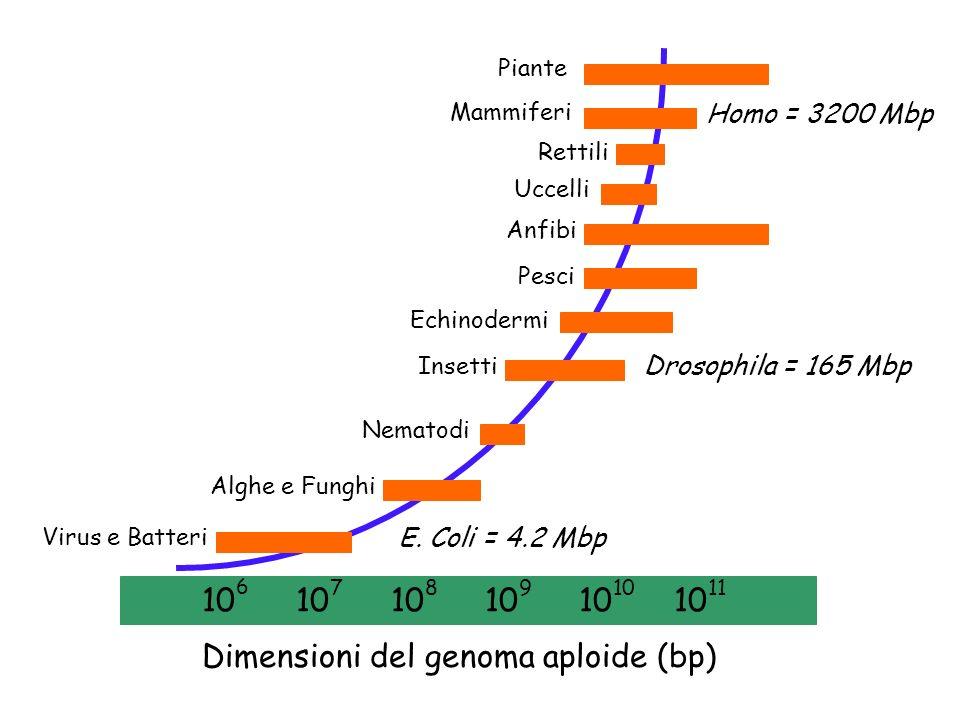 Virus e Batteri Alghe e Funghi Nematodi Insetti Echinodermi Pesci Anfibi Uccelli Rettili Mammiferi Piante 10 6 10 7 10 8 10 9 10 10 10 11 Dimensioni d