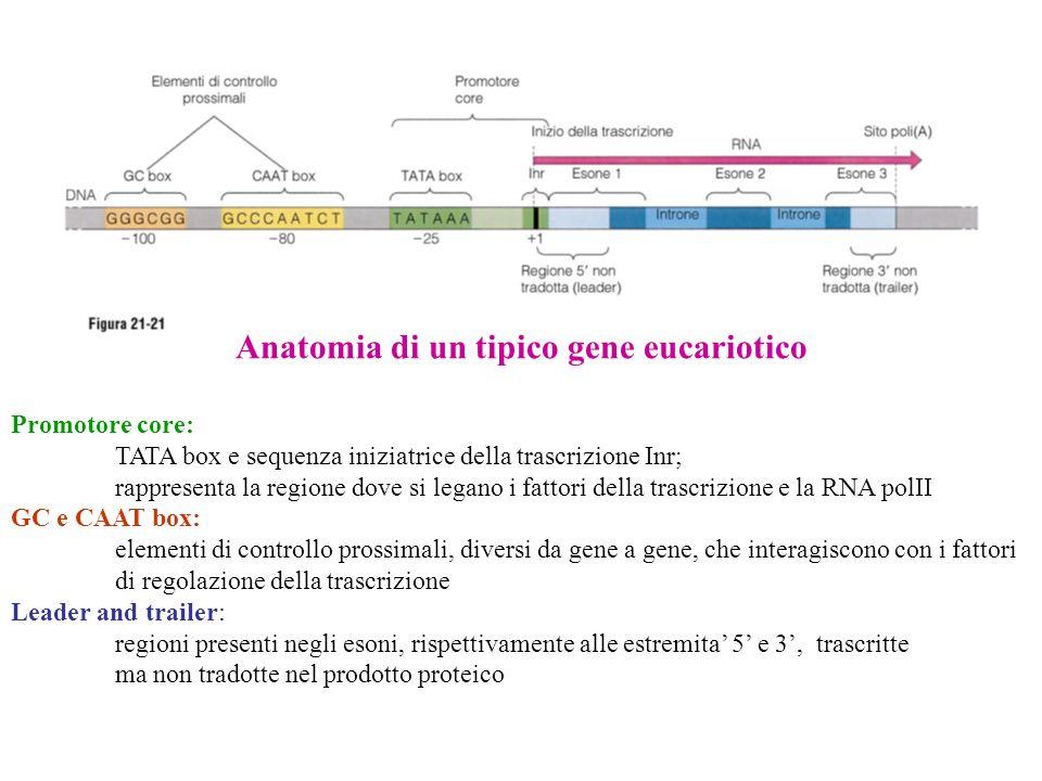 Anatomia di un tipico gene eucariotico Promotore core: TATA box e sequenza iniziatrice della trascrizione Inr; rappresenta la regione dove si legano i fattori della trascrizione e la RNA polII GC e CAAT box: elementi di controllo prossimali, diversi da gene a gene, che interagiscono con i fattori di regolazione della trascrizione Leader and trailer: regioni presenti negli esoni, rispettivamente alle estremita 5 e 3, trascritte ma non tradotte nel prodotto proteico