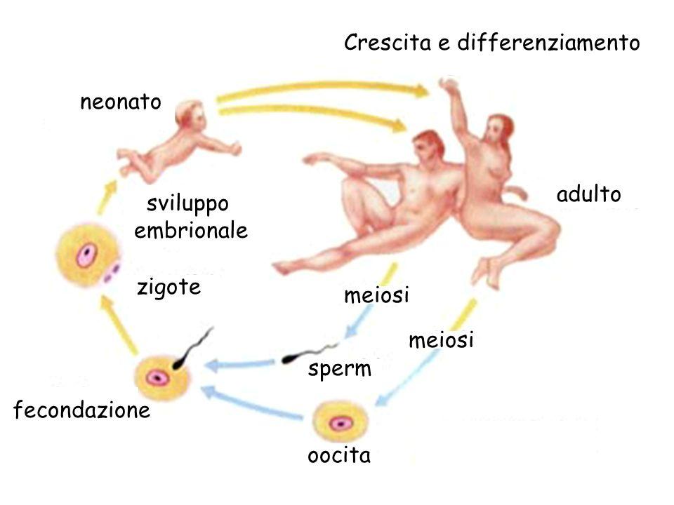 neonato adulto Crescita e differenziamento fecondazione sviluppo embrionale zigote oocita sperm meiosi