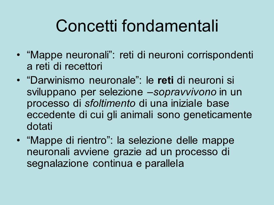 Concetti fondamentali Mappe neuronali: reti di neuroni corrispondenti a reti di recettori Darwinismo neuronale: le reti di neuroni si sviluppano per s