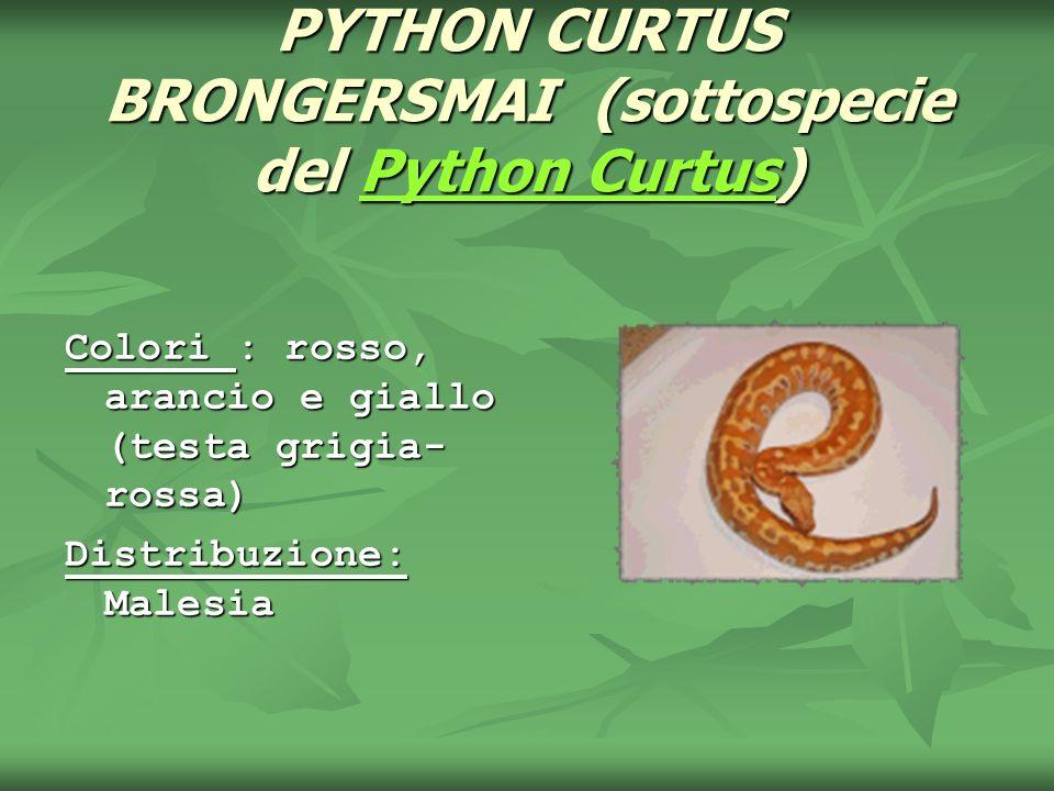 PYTHON CURTUS BRONGERSMAI (sottospecie del Python Curtus) Python CurtusPython Curtus Colori : rosso, arancio e giallo (testa grigia- rossa) Distribuzi