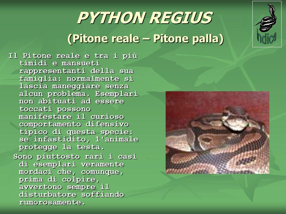 PYTHON REGIUS (Pitone reale – Pitone palla) Il Pitone reale e tra i più timidi e mansueti rappresentanti della sua famiglia: normalmente si lascia man