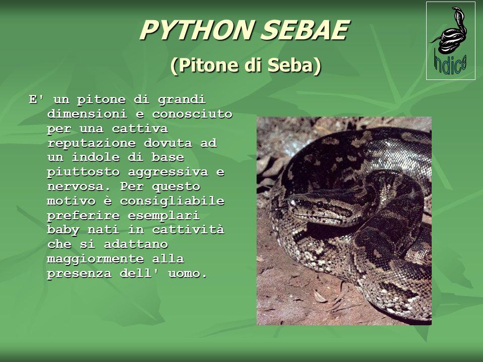 PYTHON SEBAE (Pitone di Seba) E' un pitone di grandi dimensioni e conosciuto per una cattiva reputazione dovuta ad un indole di base piuttosto aggress