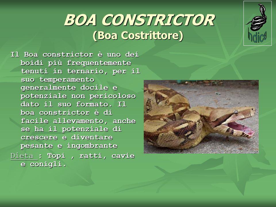 BOA CONSTRICTOR (Boa Costrittore) Il Boa constrictor è uno dei boidi più frequentemente tenuti in ternario, per il suo temperamento generalmente docil