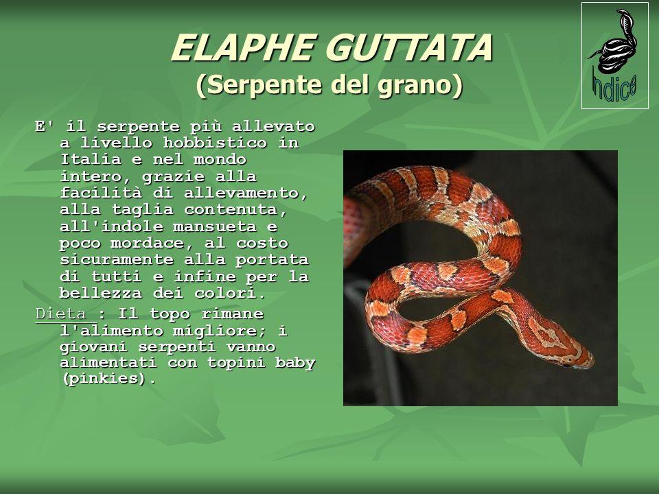 ELAPHE GUTTATA (Serpente del grano) E' il serpente più allevato a livello hobbistico in Italia e nel mondo intero, grazie alla facilità di allevamento