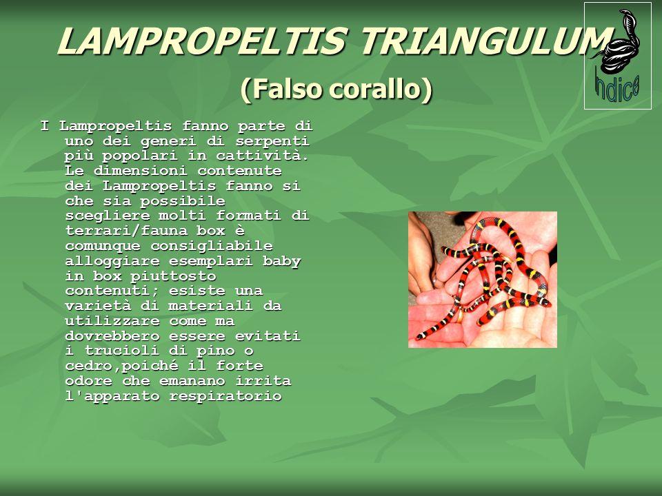 LAMPROPELTIS TRIANGULUM (Falso corallo) I Lampropeltis fanno parte di uno dei generi di serpenti più popolari in cattività. Le dimensioni contenute de