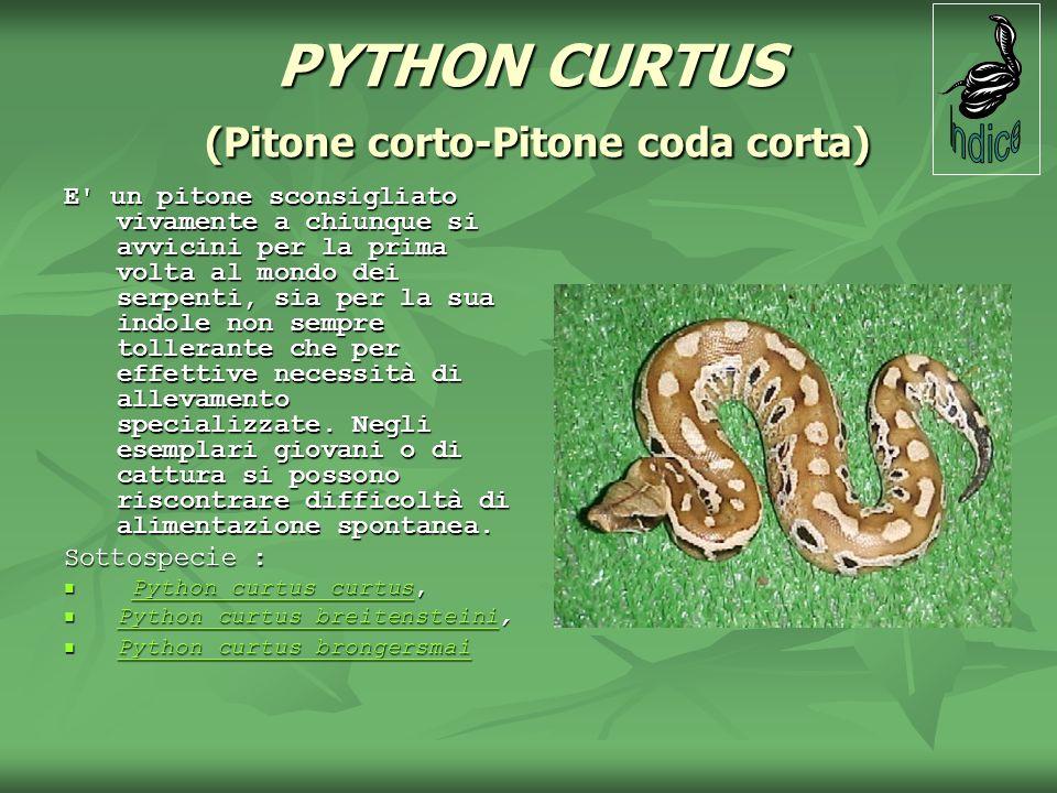 PYTHON CURTUS (Pitone corto-Pitone coda corta) E' un pitone sconsigliato vivamente a chiunque si avvicini per la prima volta al mondo dei serpenti, si