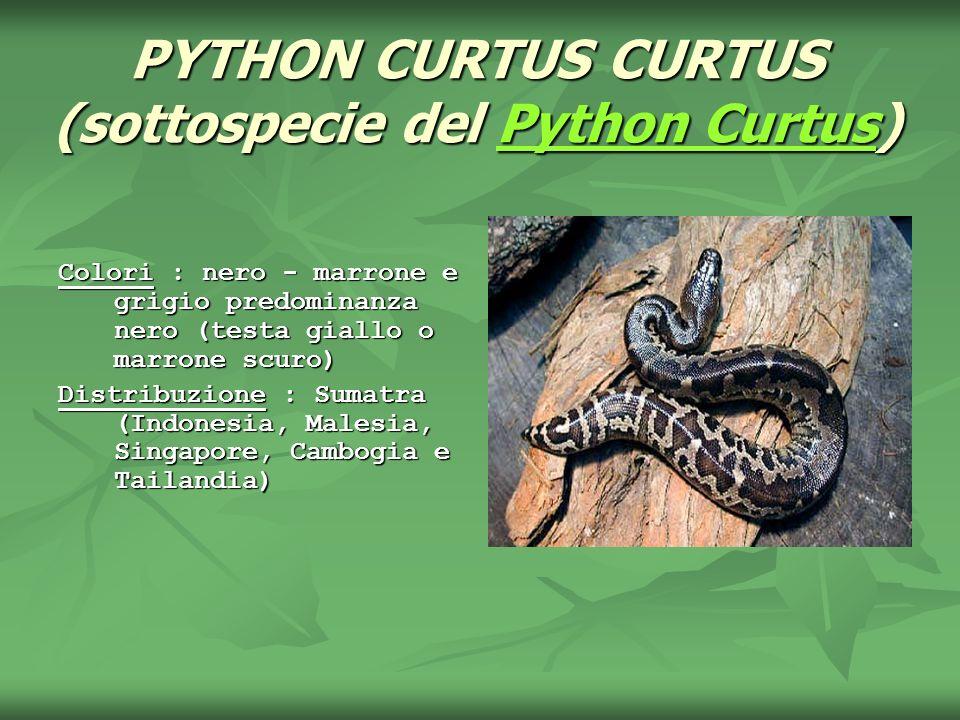 PYTHON CURTUS CURTUS (sottospecie del Python Curtus) Python CurtusPython Curtus Colori : nero - marrone e grigio predominanza nero (testa giallo o mar