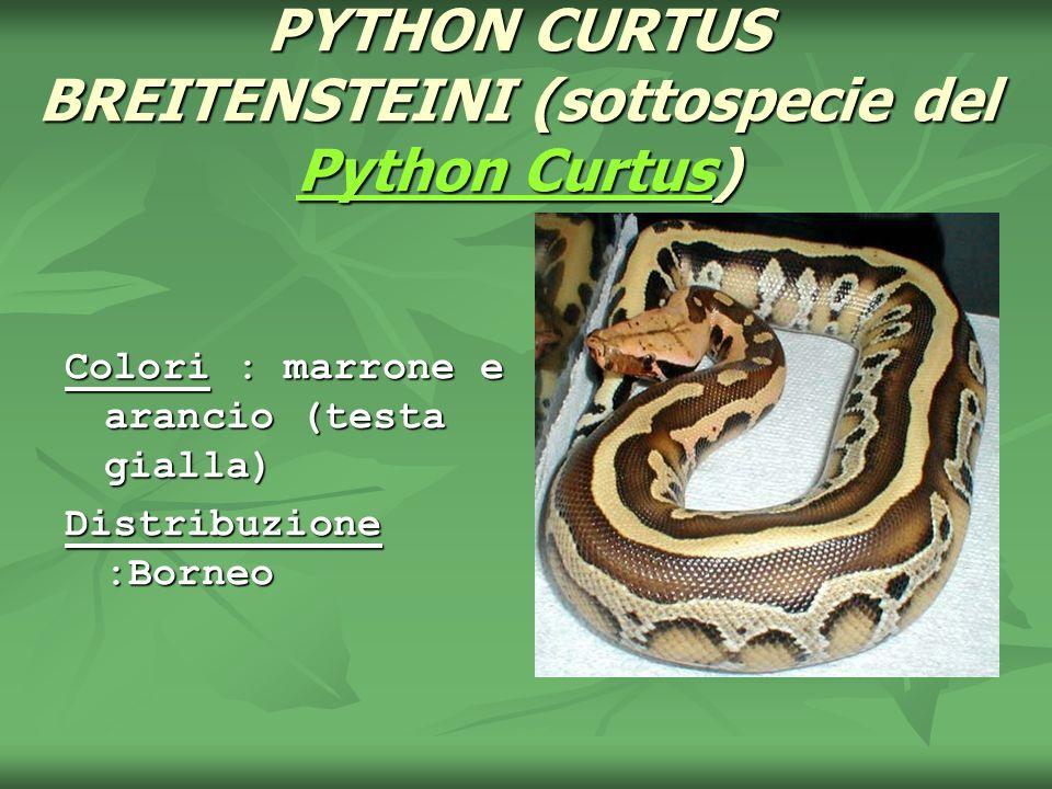 PYTHON CURTUS BREITENSTEINI (sottospecie del Python Curtus) Python Curtus Python Curtus Colori : marrone e arancio (testa gialla) Distribuzione :Borne