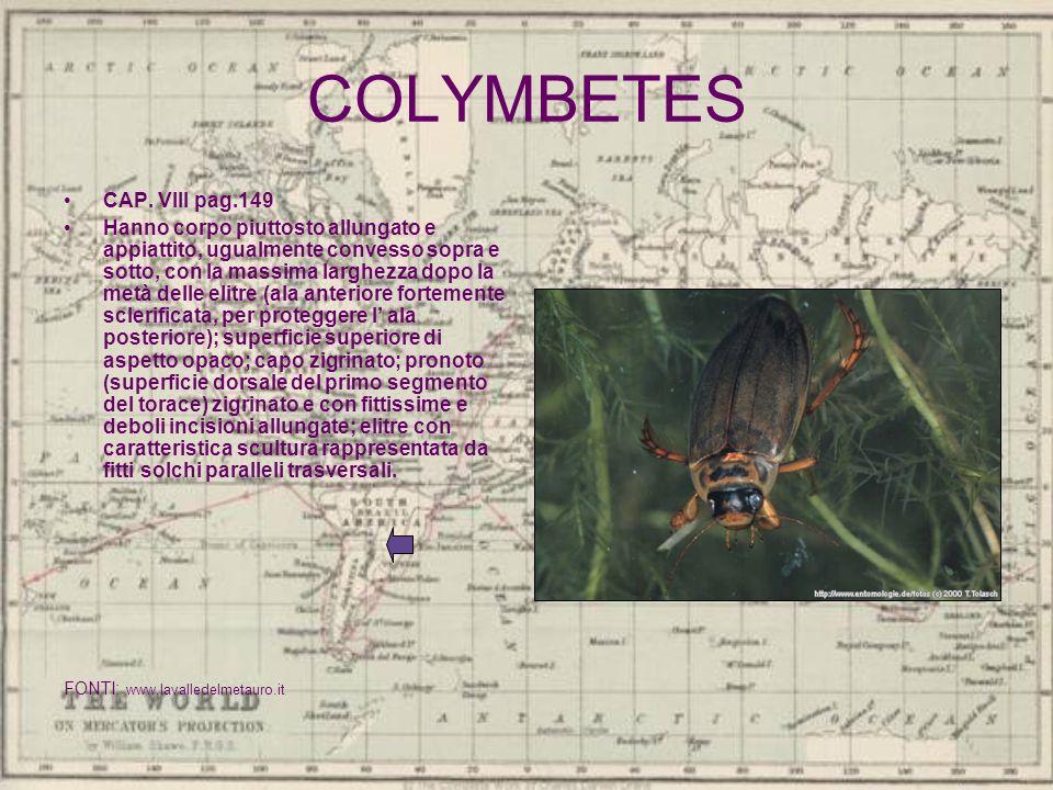 COLYMBETES CAP. VIII pag.149 Hanno corpo piuttosto allungato e appiattito, ugualmente convesso sopra e sotto, con la massima larghezza dopo la metà de