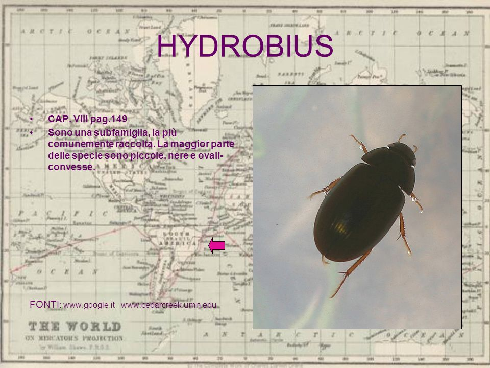 HYDROBIUS CAP. VIII pag.149 Sono una subfamiglia, la più comunemente raccolta. La maggior parte delle specie sono piccole, nere e ovali- convesse. FON