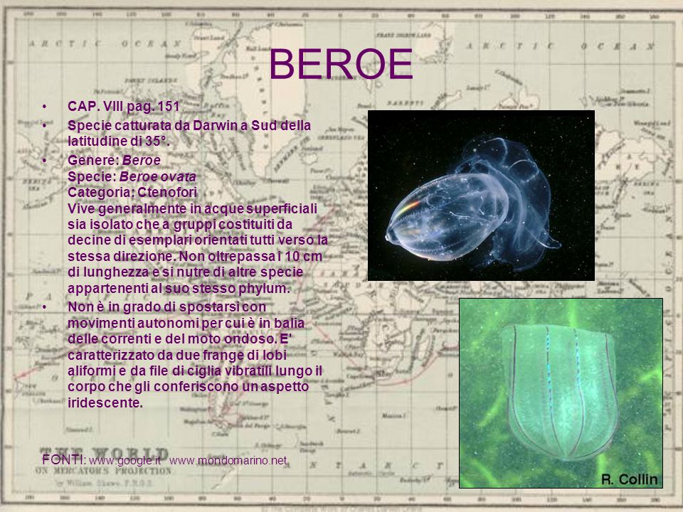 BEROE CAP. VIII pag. 151 Specie catturata da Darwin a Sud della latitudine di 35°. Genere: Beroe Specie: Beroe ovata Categoria: Ctenofori Vive general