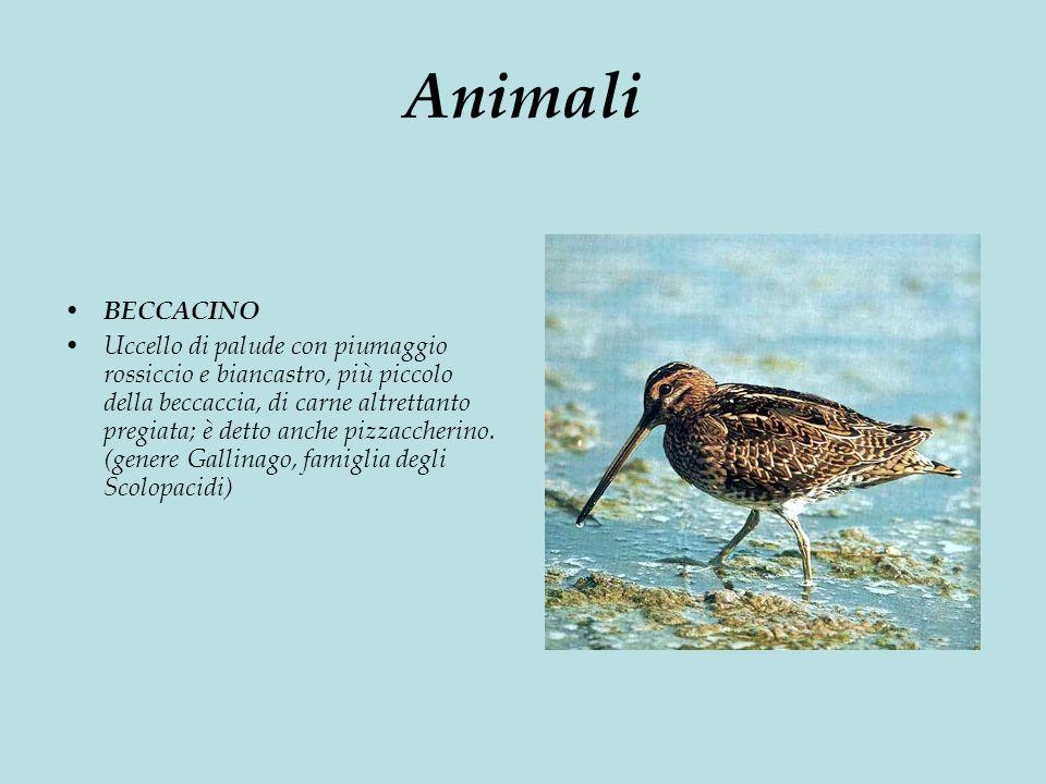 Animali BECCACINO Uccello di palude con piumaggio rossiccio e biancastro, più piccolo della beccaccia, di carne altrettanto pregiata; è detto anche pizzaccherino.
