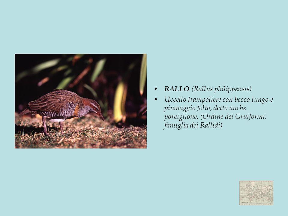 RALLO (Rallus philippensis) Uccello trampoliere con becco lungo e piumaggio folto, detto anche porciglione.