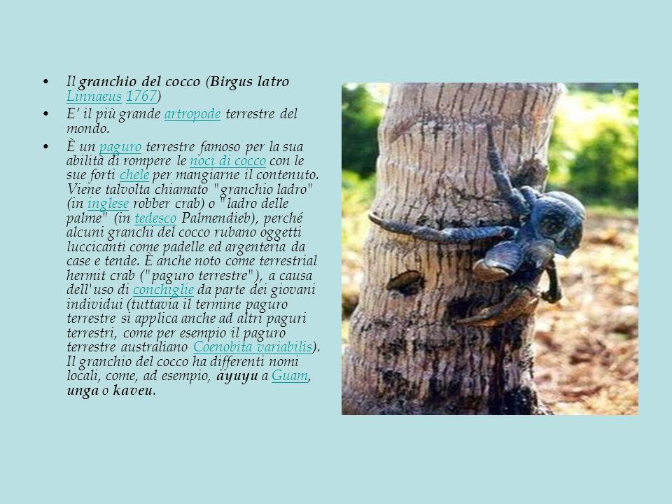 Il granchio del cocco ( Birgus latro Linnaeus 1767) Linnaeus1767 E il più grande artropode terrestre del mondo.artropode È un paguro terrestre famoso per la sua abilità di rompere le noci di cocco con le sue forti chele per mangiarne il contenuto.