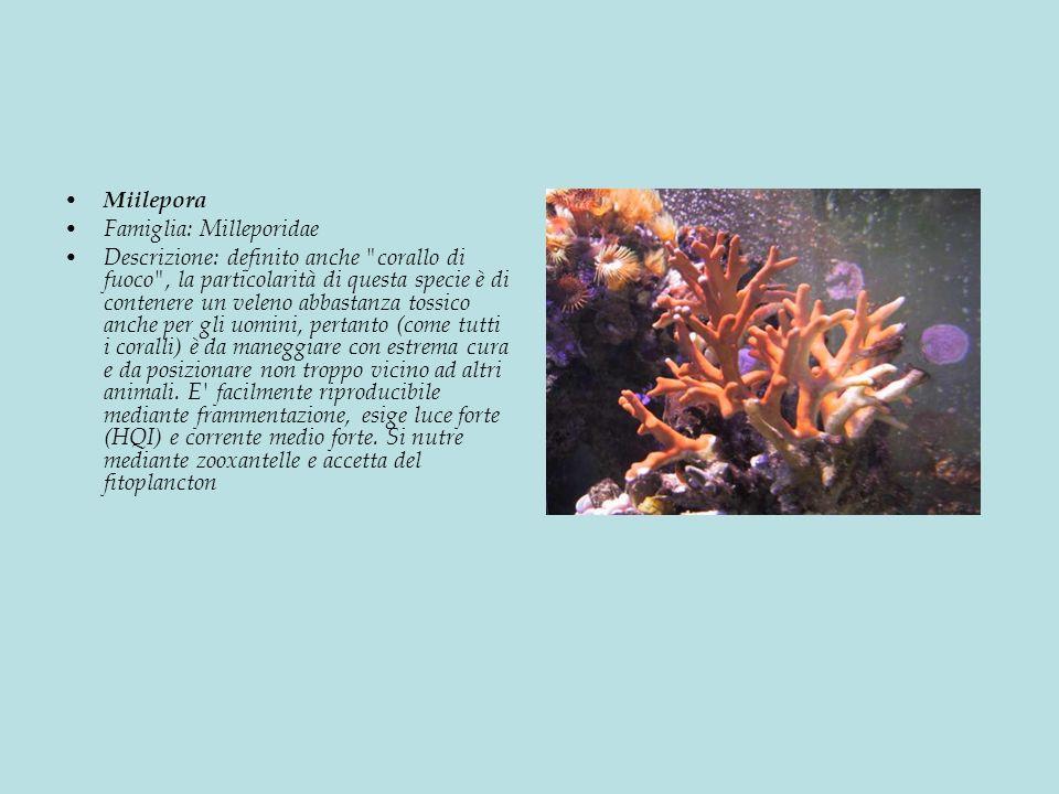 Miilepora Famiglia: Milleporidae Descrizione: definito anche corallo di fuoco , la particolarità di questa specie è di contenere un veleno abbastanza tossico anche per gli uomini, pertanto (come tutti i coralli) è da maneggiare con estrema cura e da posizionare non troppo vicino ad altri animali.