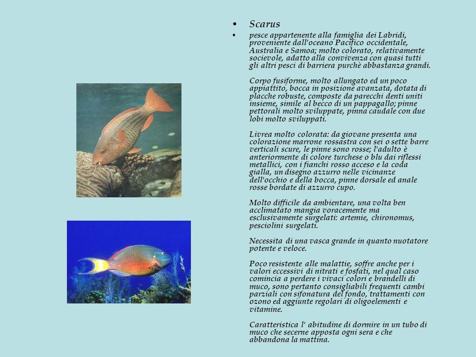 Scarus pesce appartenente alla famiglia dei Labridi, proveniente dall oceano Pacifico occidentale, Australia e Samoa; molto colorato, relativamente socievole, adatto alla convivenza con quasi tutti gli altri pesci di barriera purchè abbastanza grandi.