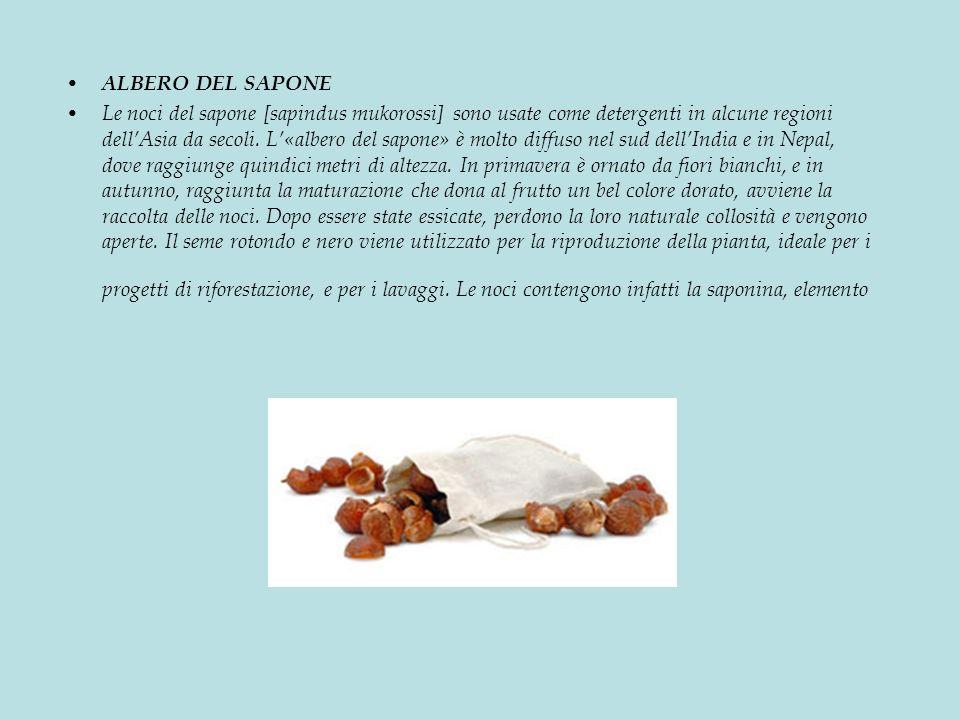 ALBERO DEL SAPONE Le noci del sapone [sapindus mukorossi] sono usate come detergenti in alcune regioni dellAsia da secoli.