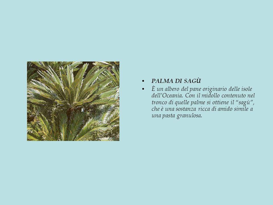 PALMA DI SAGÙ È un albero del pane originario delle isole dellOceania.