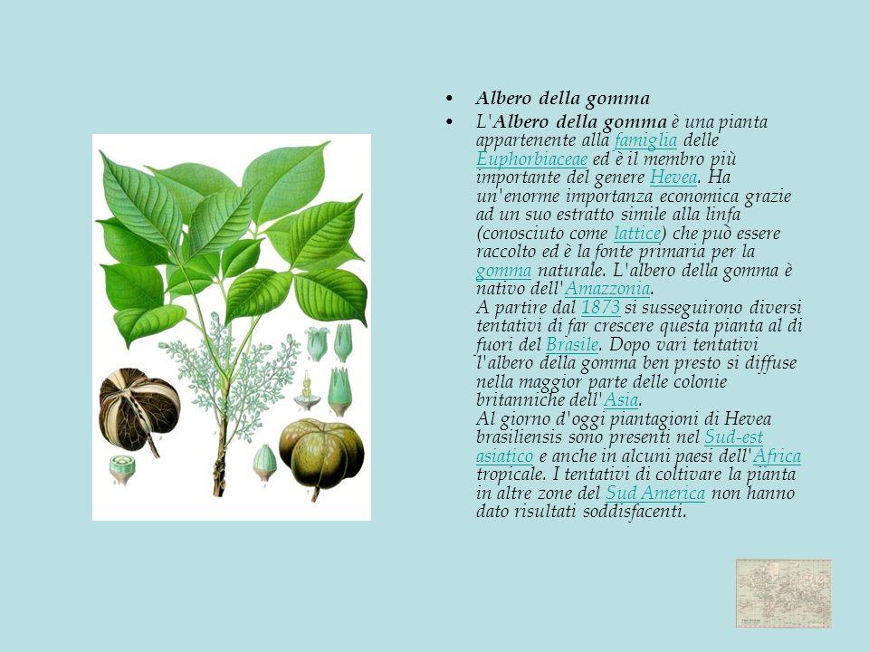 Albero della gomma L Albero della gomma è una pianta appartenente alla famiglia delle Euphorbiaceae ed è il membro più importante del genere Hevea.