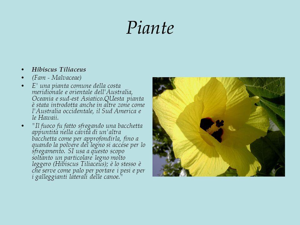 Piante Hibiscus Tiliaceus (Fam - Malvaceae) E una pianta comune della costa meridionale e orientale dell Australia, Oceania e sud-est Asiatico.QUesta pianta è stata introdotta anche in altre zone come l Australia occidentale, il Sud America e le Hawaii.