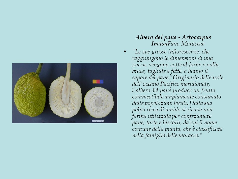 Albero del pane - Artocarpus Incisa Fam.