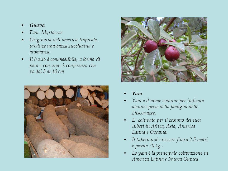 Guava Fam.Myrtaceae Originaria dell america tropicale, produce una bacca zuccherina e aromatica.