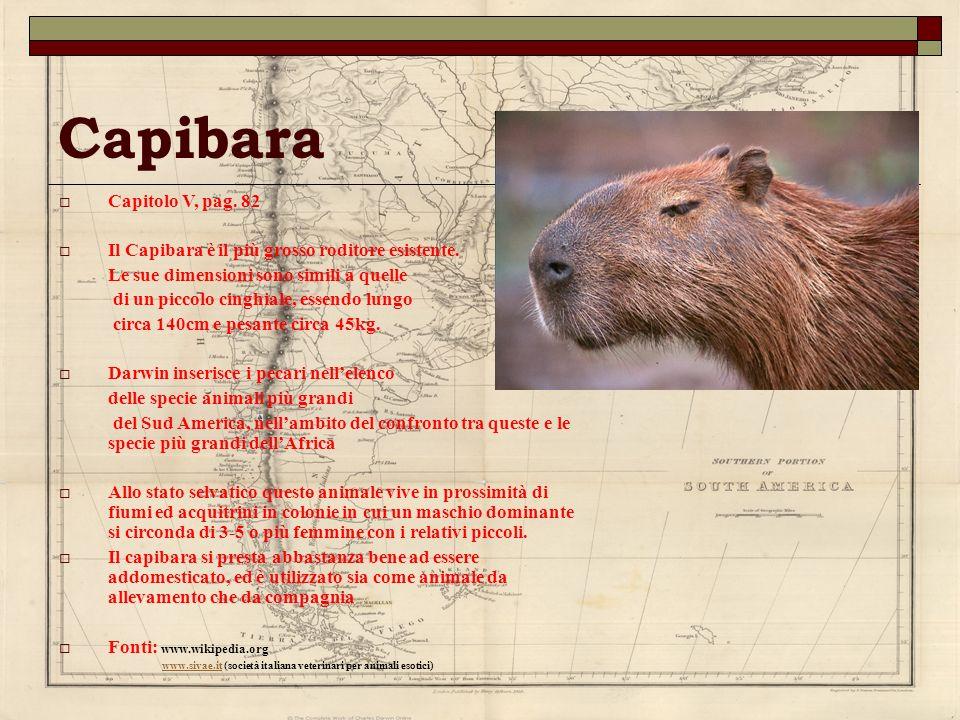 Capibara Capitolo V, pag. 82 Il Capibara è il più grosso roditore esistente. Le sue dimensioni sono simili a quelle di un piccolo cinghiale, essendo l