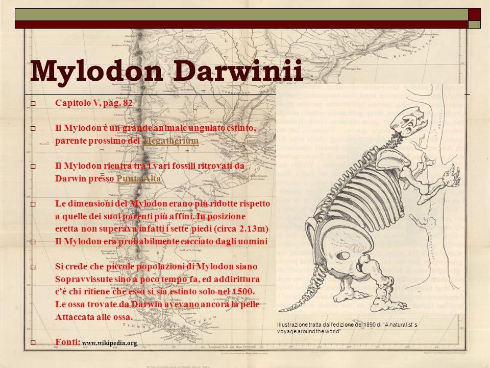 Mylodon Darwinii Capitolo V, pag. 82 Il Mylodon è un grande animale ungulato estinto, parente prossimo del MegatheriumMegatherium Il Mylodon rientra t