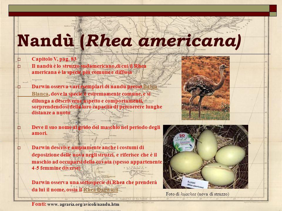 Nandù ( Rhea americana) Capitolo V, pag. 83 Il nandù è lo struzzo sudamericano,di cui il Rhea americana è la specie più comune e diffusa Darwin osserv