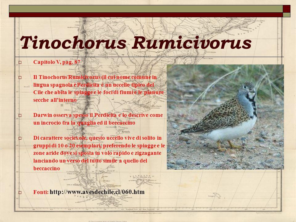 Tinochorus Rumicivorus Capitolo V, pag. 87 Il Tinochorus Rumicivorus (il cui nome comune in lingua spagnola è Perdicita è un uccello tipico del Cile c