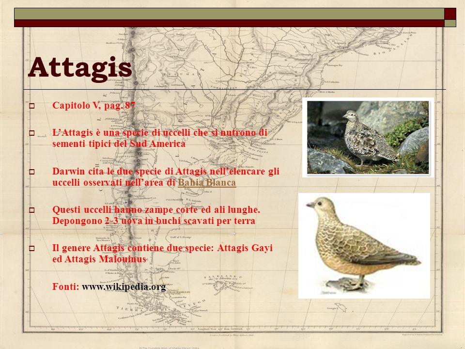 Attagis Capitolo V, pag. 87 LAttagis è una specie di uccelli che si nutrono di sementi tipici del Sud America Darwin cita le due specie di Attagis nel