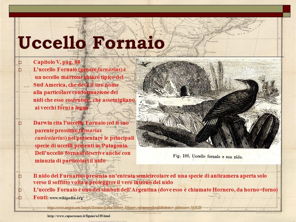 Uccello Fornaio Capitolo V, pag. 88 Luccello Fornaio (genere furnarius) è un uccello marrone chiaro tipico del Sud America, che deve il suo nome alla