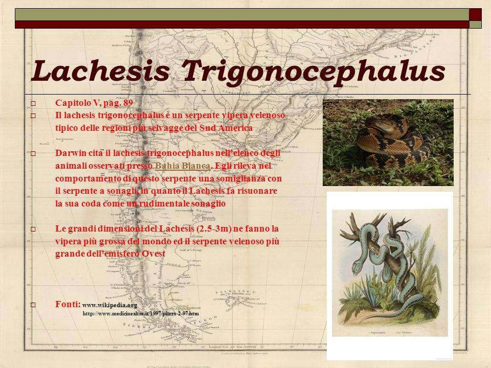 Lachesis Trigonocephalus Capitolo V, pag. 89 Il lachesis trigonocephalus è un serpente vipera velenoso tipico delle regioni più selvagge del Sud Ameri
