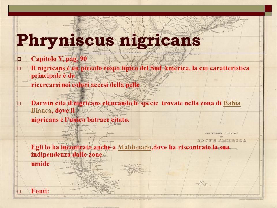 Phryniscus nigricans Capitolo V, pag. 90 Il nigricans è un piccolo rospo tipico del Sud America, la cui caratteristica principale è da ricercarsi nei