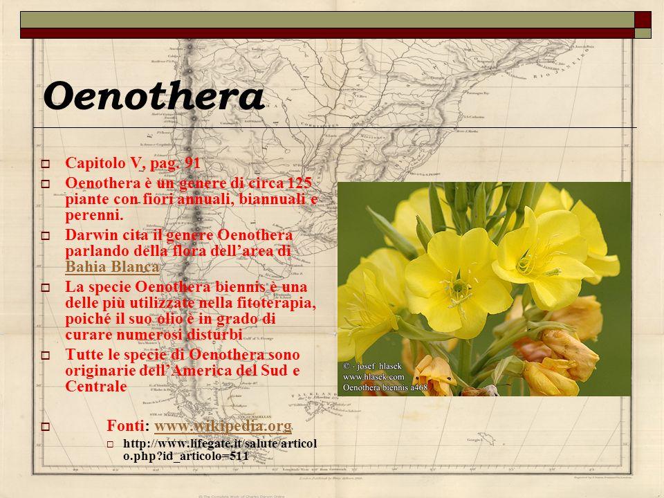 Oenothera Capitolo V, pag. 91 Oenothera è un genere di circa 125 piante con fiori annuali, biannuali e perenni. Darwin cita il genere Oenothera parlan