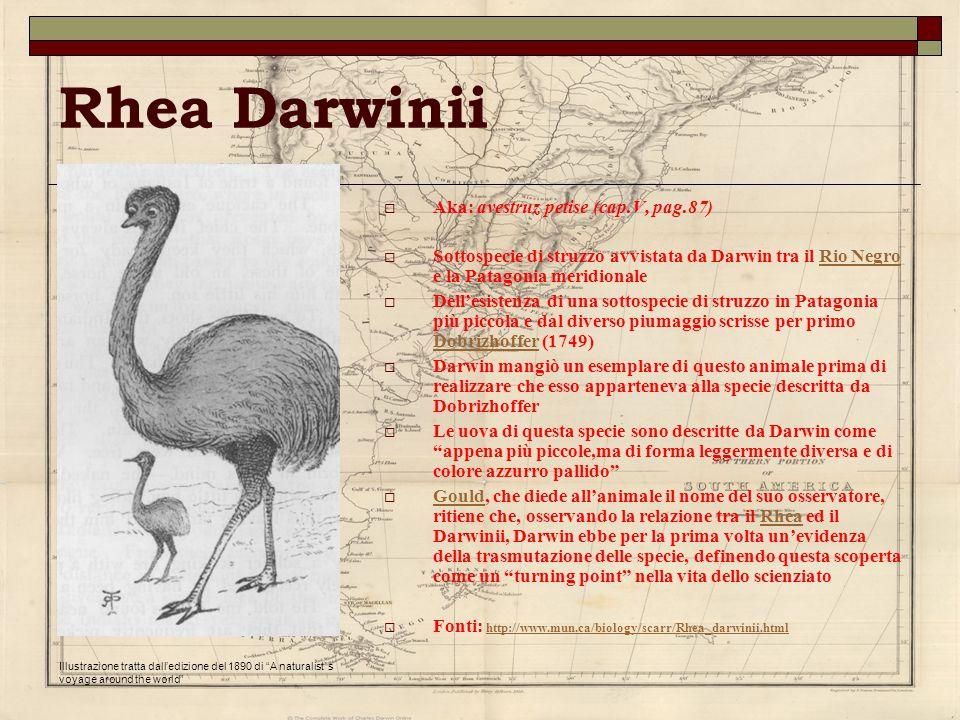 Rhea Darwinii Aka: avestruz petise (cap.V, pag.87) Sottospecie di struzzo avvistata da Darwin tra il Rio Negro e la Patagonia meridionaleRio Negro Del