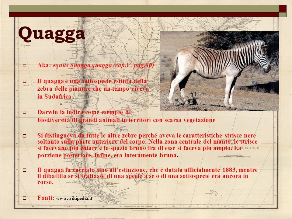 Quagga Aka: equus quagga quagga (cap.V, pag.80) Il quagga è una sottospecie estinta della zebra delle pianure che un tempo viveva in Sudafrica Darwin