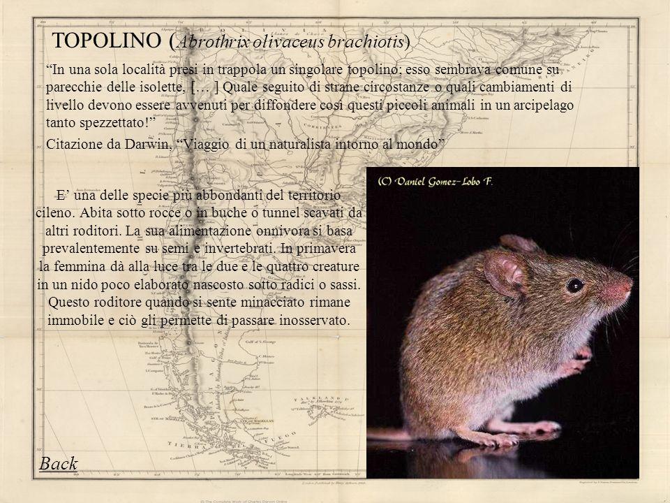 E una delle specie più abbondanti del territorio cileno. Abita sotto rocce o in buche o tunnel scavati da altri roditori. La sua alimentazione onnivor