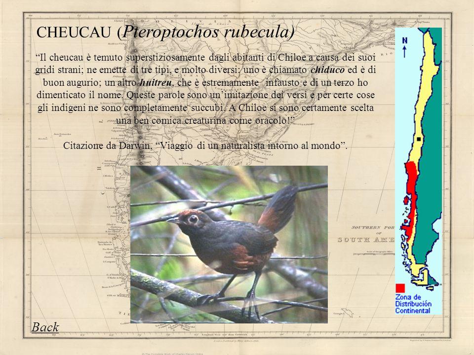 Il cheucau è temuto superstiziosamente dagli abitanti di Chiloe a causa dei suoi gridi strani; ne emette di tre tipi, e molto diversi: uno è chiamato