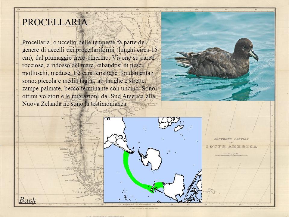 Procellaria, o uccello delle tempeste fa parte del genere di uccelli dei procellariformi (lunghi circa 15 cm), dal piumaggio nero-cinerino. Vivono su