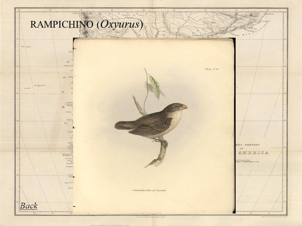 RAMPICHINO ( Oxyurus) Back