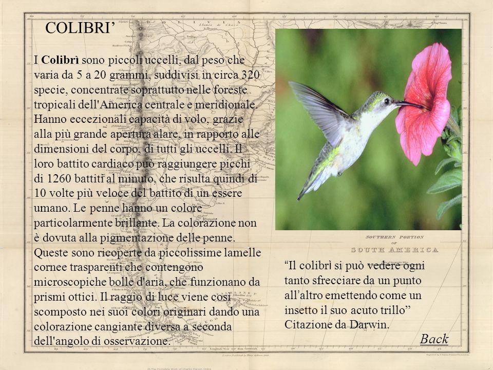 I Colibrì sono piccoli uccelli, dal peso che varia da 5 a 20 grammi, suddivisi in circa 320 specie, concentrate soprattutto nelle foreste tropicali de