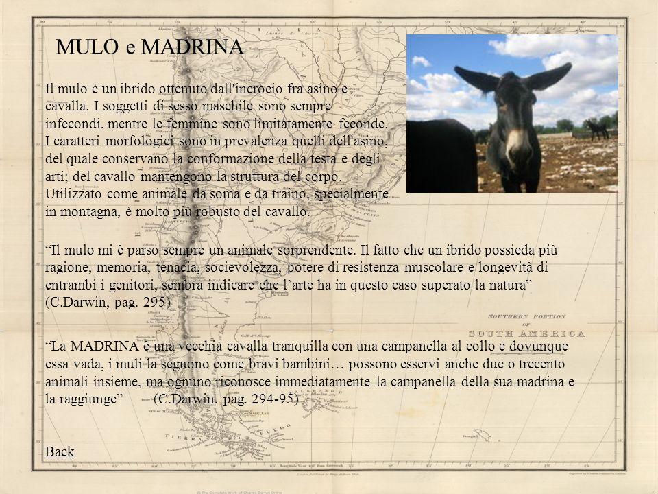MULO e MADRINA Il mulo mi è parso sempre un animale sorprendente. Il fatto che un ibrido possieda più ragione, memoria, tenacia, socievolezza, potere