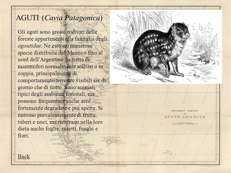 AGUTI (Cavia Patagonica) Gli aguti sono grossi roditori delle foreste appartenenti alla famiglia degli agoutidae. Ne esitono numerose specie distribui